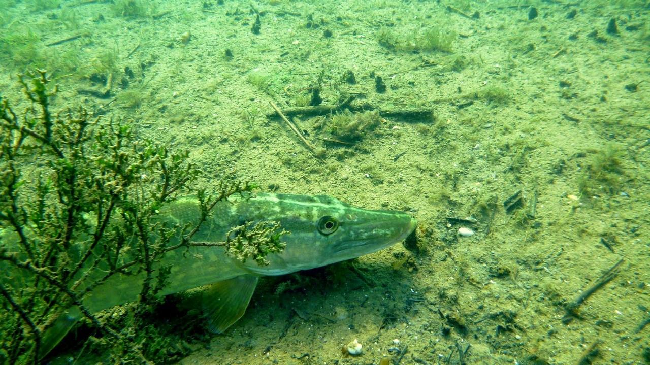 nurkowanie-jezioro-tarnobrzeskie-46_0
